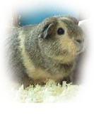 side_animals_guinea_pig5.jpg